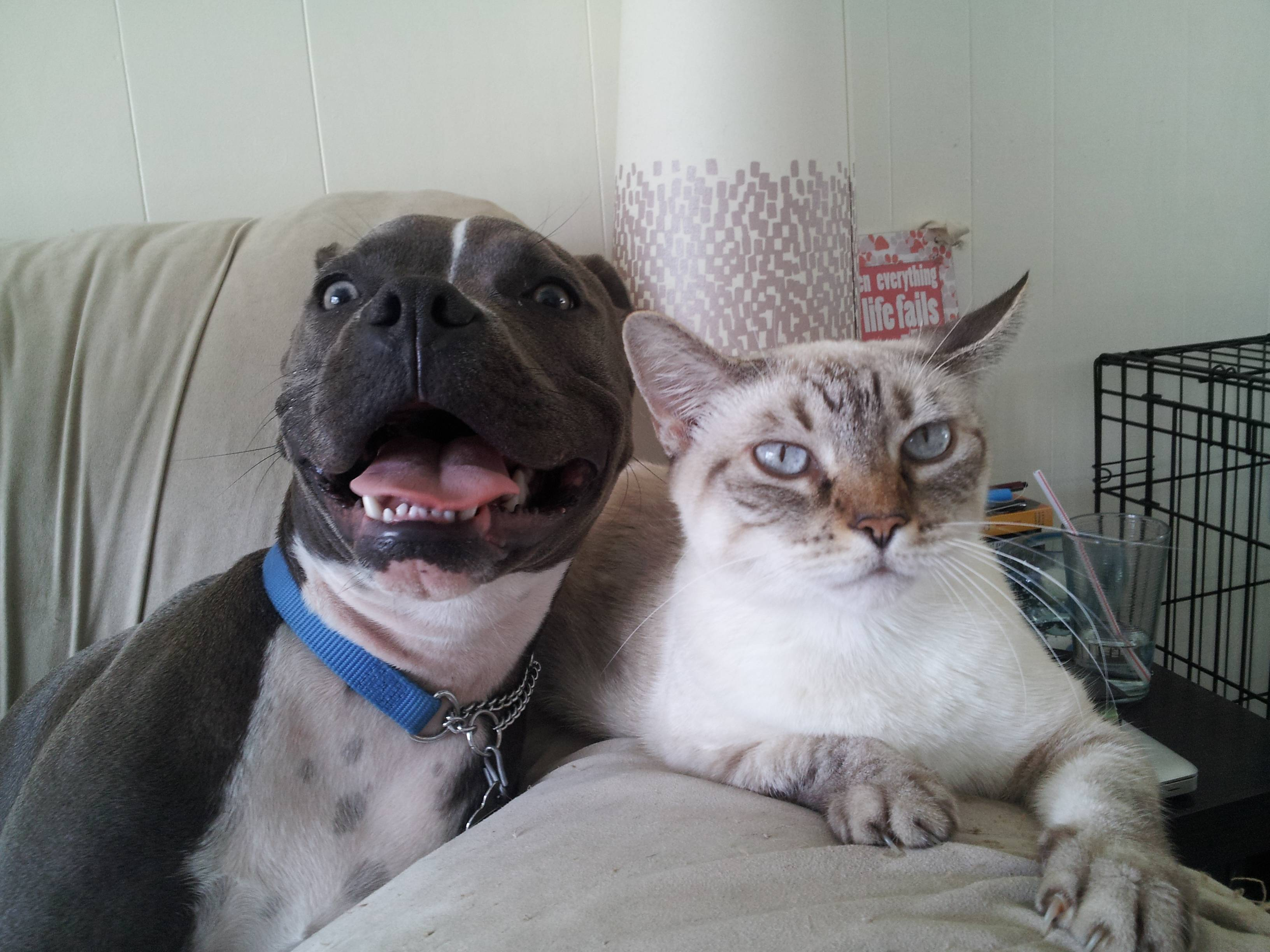 cute pit bull with cat