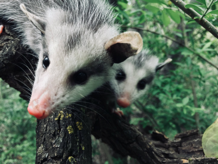 Possum babies in a tree