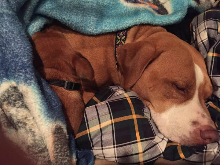 Merrill Recovering from Surgery - Pit Bull Rescue Story