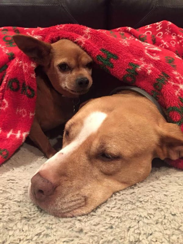 Merrill and Taco - Pit Bull Rescue Story