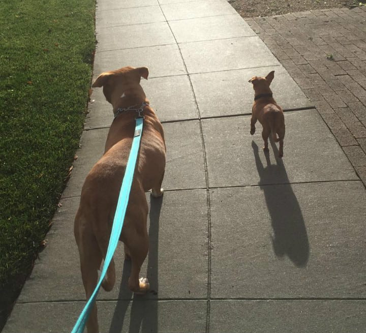 Merrill and Taco on a Walk - Pit Bull Rescue Story