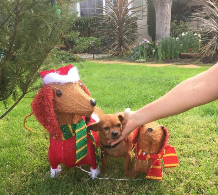 Taco Dressed Up for Christmas - Pit Bull Rescue Story