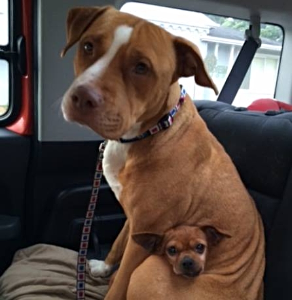 family adopts pitbull instagram