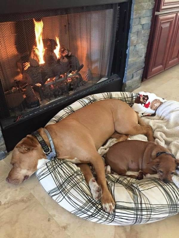 Merrill and Taco Lying Together by Fireplace - Pit Bull Rescue Story