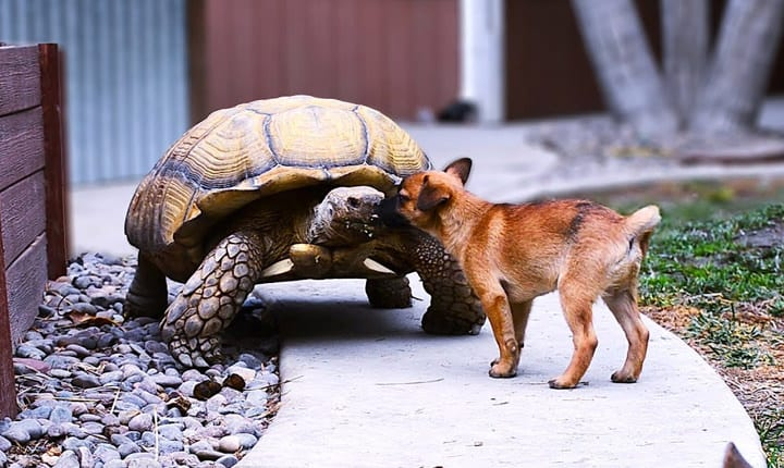 Abandoned Puppies Become Friends with Tortoise