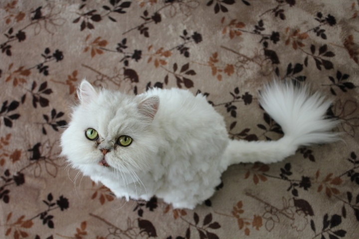facts about iran cat on carpet