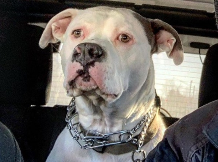 rescue dog pit bull