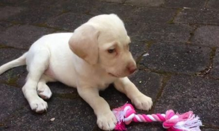 white lab - stolen puppy