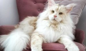 colossal maine coon