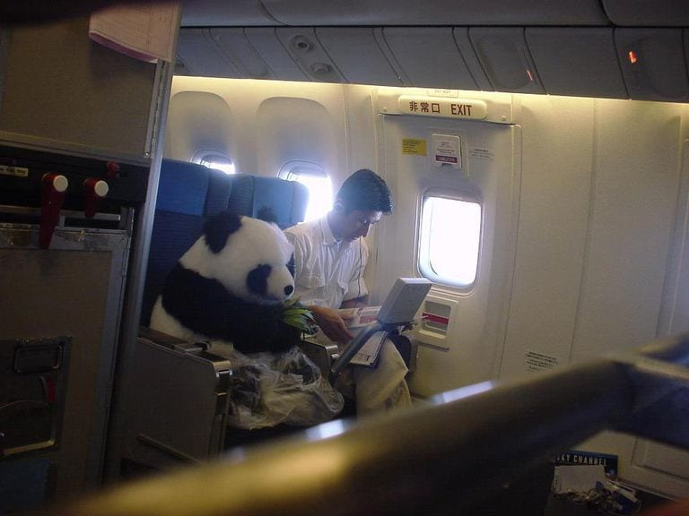 panda bear air travel