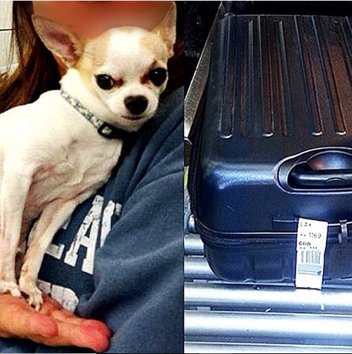 chihuahua suitcase airport air travel