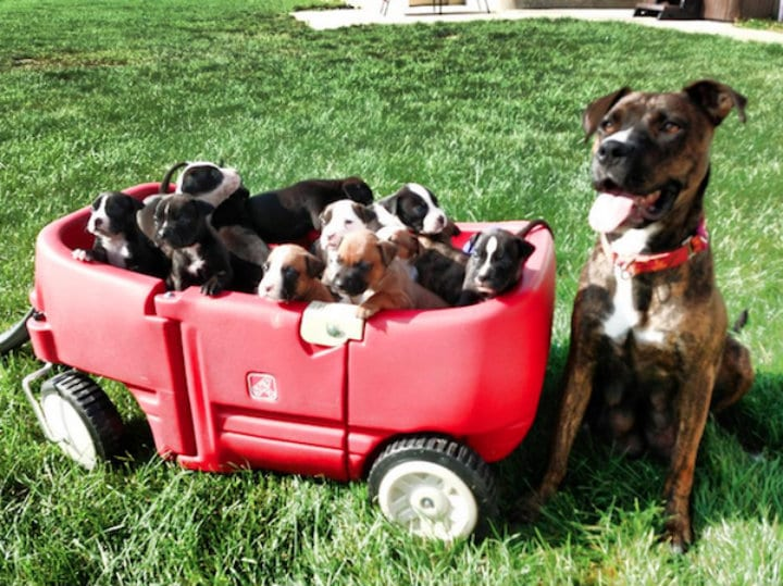 Storie and Her 12 Puppies