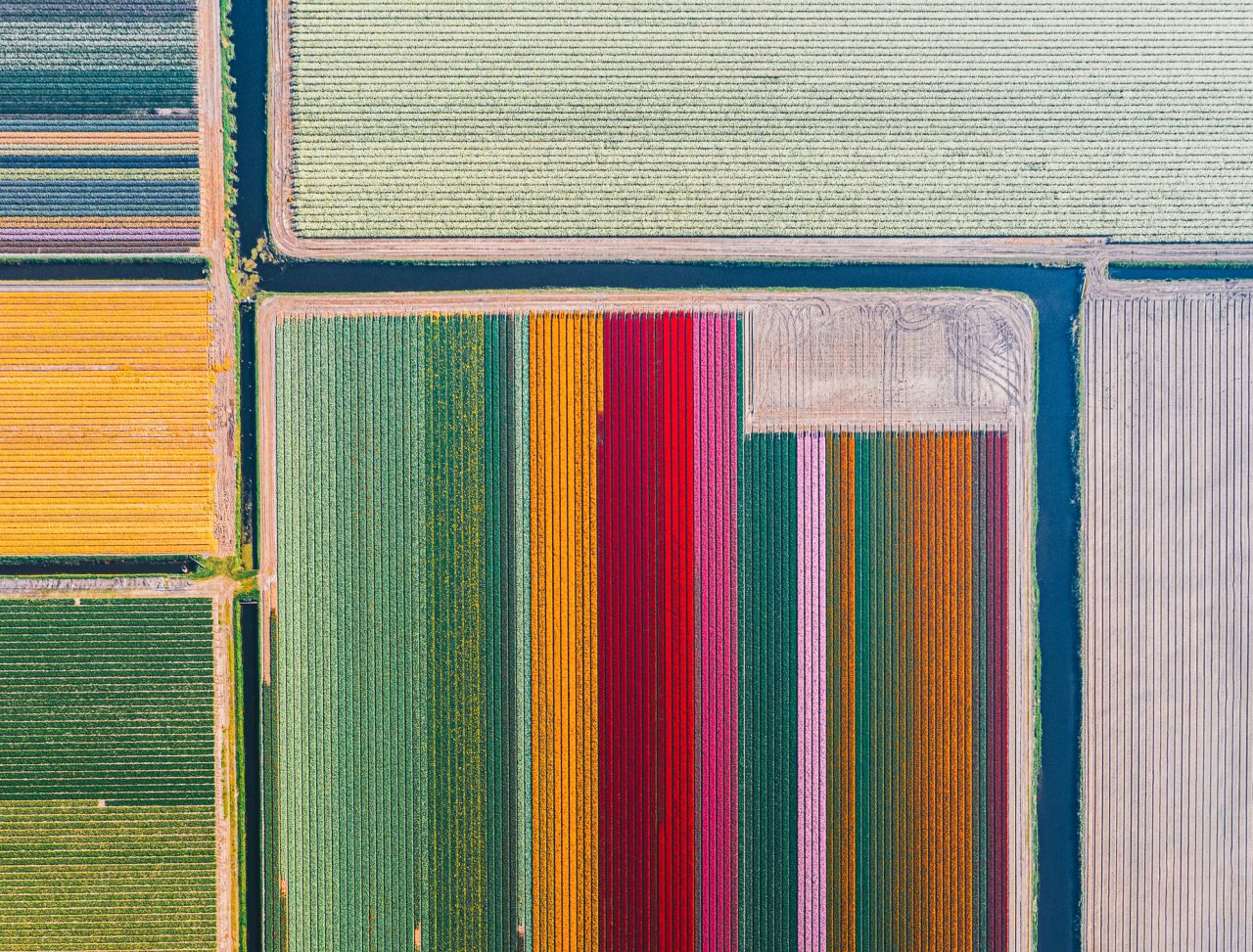 A daytime view of colourful tulips in a row from a high viewpoint