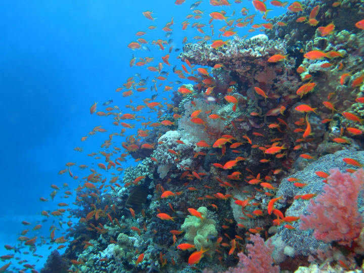 goldfish red sea reef egypt blue hole