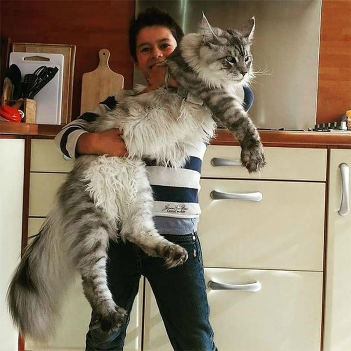 giant pet cat kitty maine coon