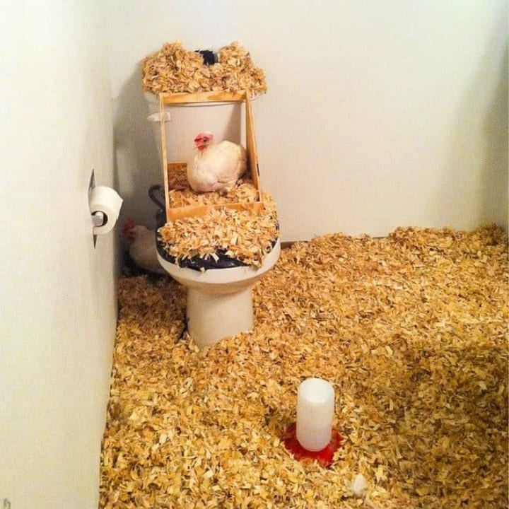 chicken chickens bathroom roommate prank