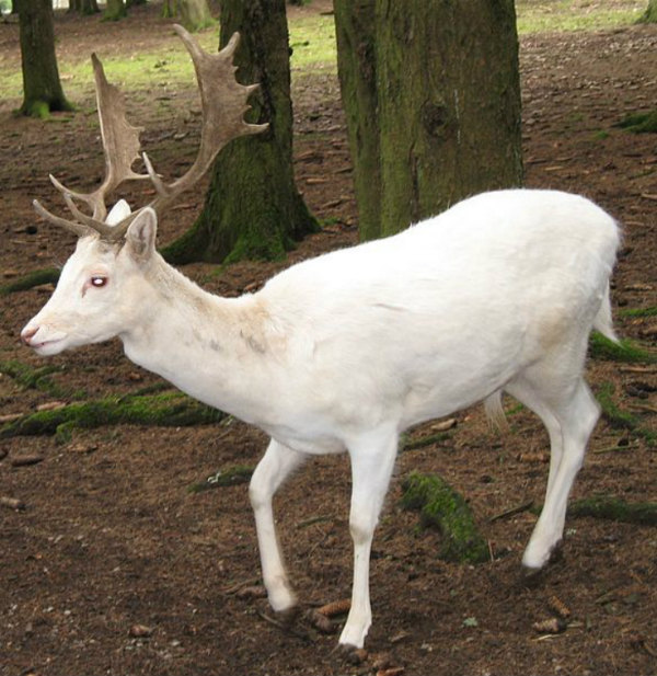 fallow deer albino animals