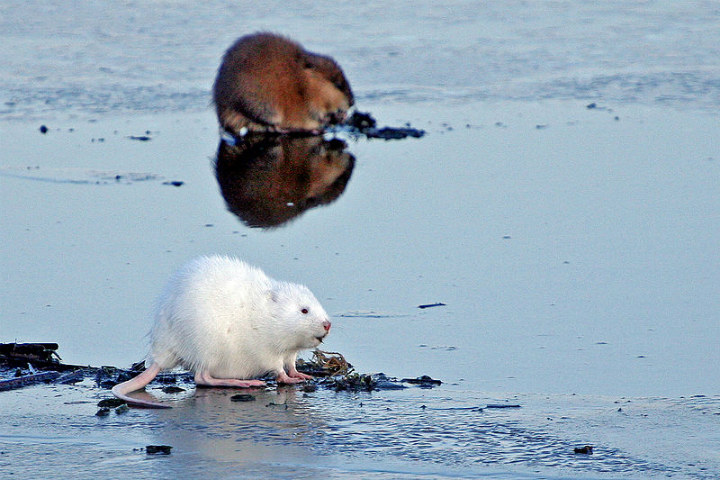 muskrat albino animals