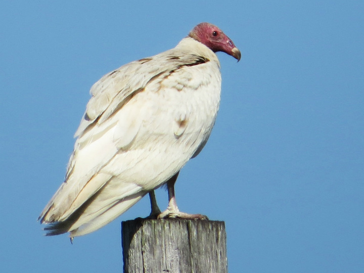 turkey vulture albino animals bird
