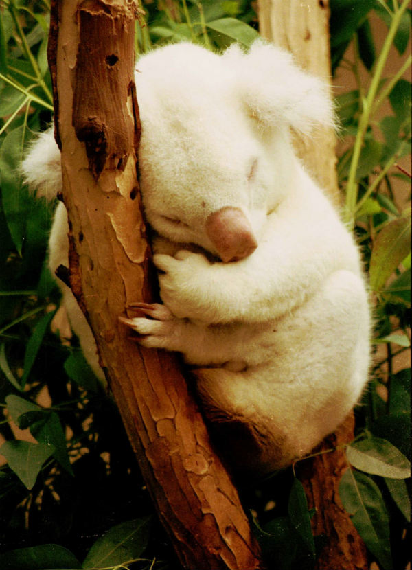 koala marsupial bear albino animals