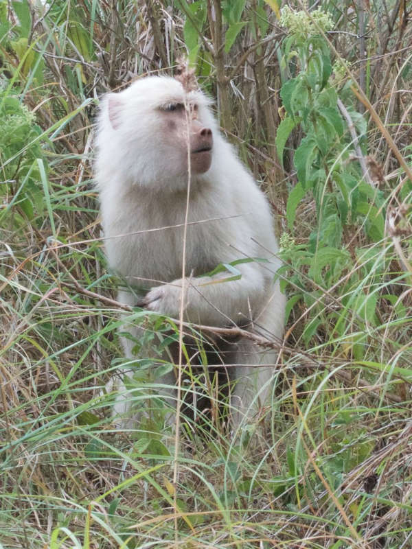 baboon monkey albino animals
