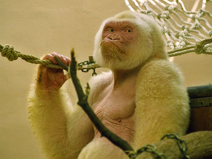 albino animals gorilla