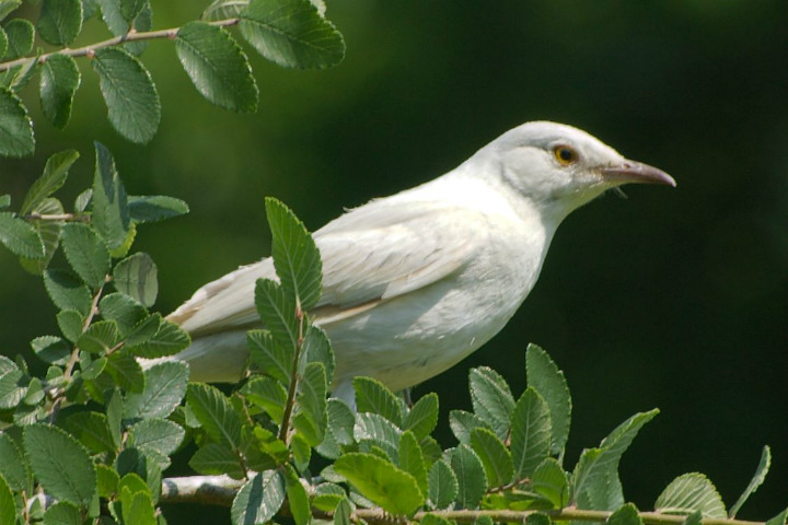 albino animals mockingbird birds