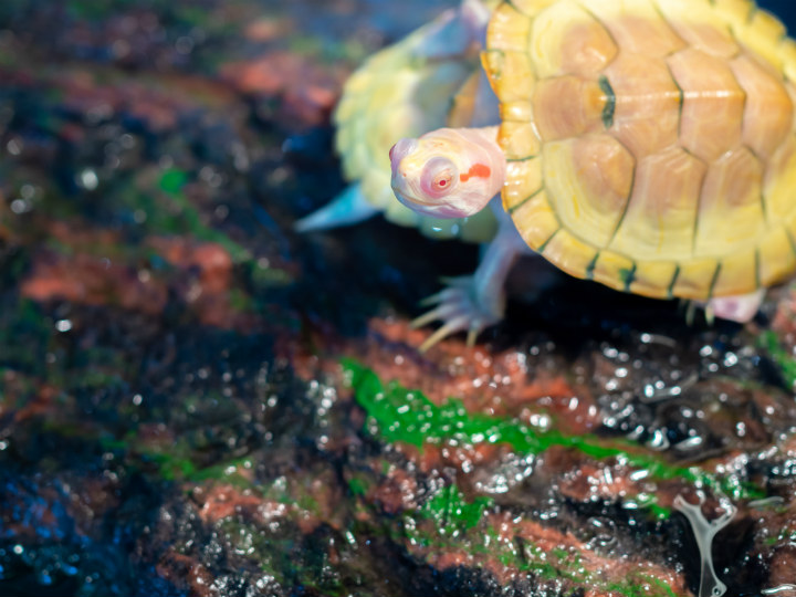albino animals turtle