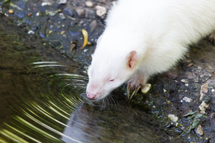 albino skunk animals