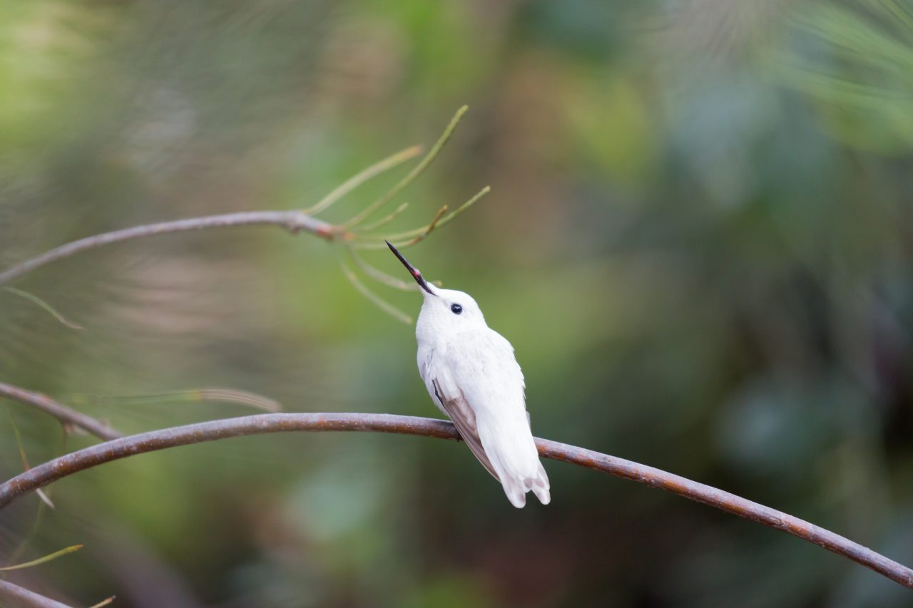 hummingbird bird albino animals