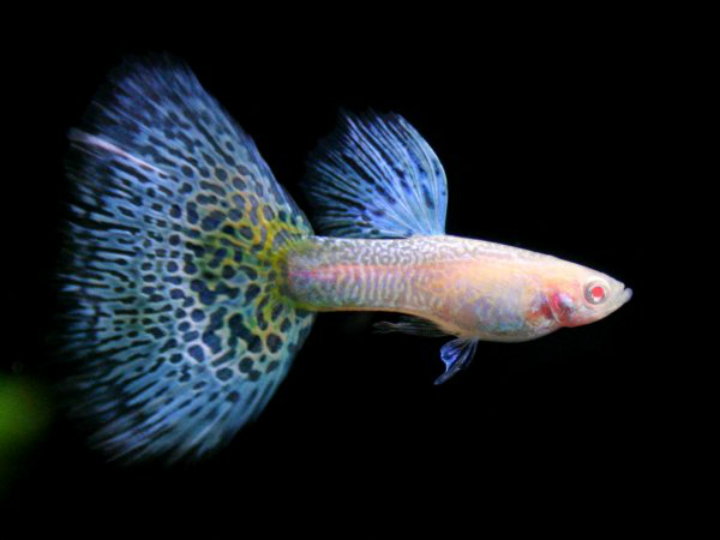fish guppy albino animals