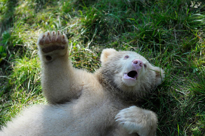 white bear albino animals