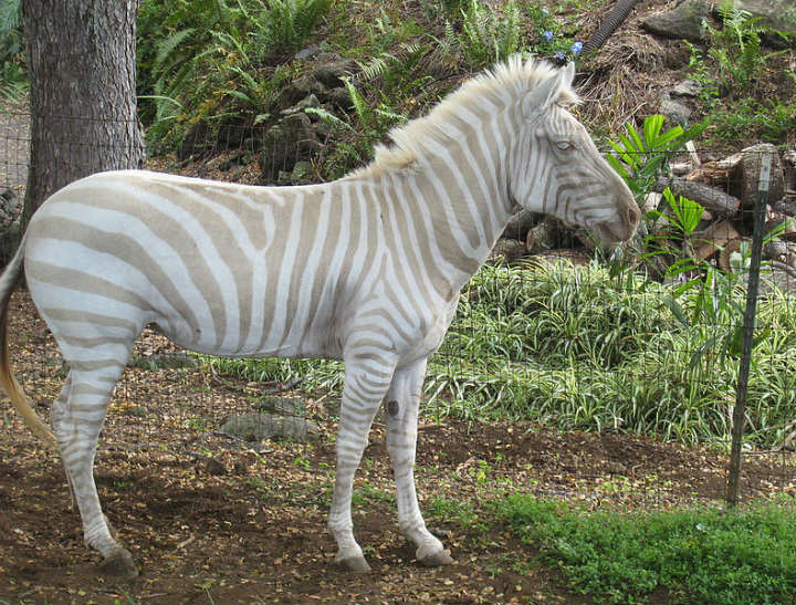 zebra albino animals