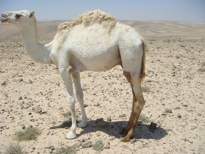camel albino animals