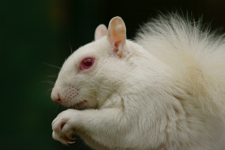 squirrel albino animals