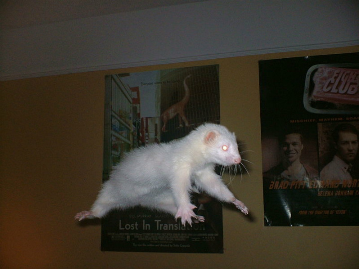 ferret albino animals