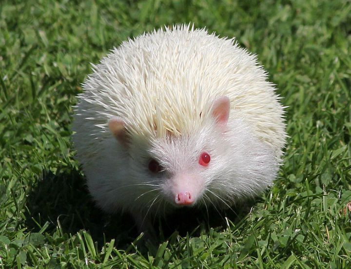 hedgehog albino animals