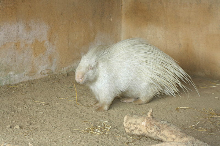 crested porcupine albino animals