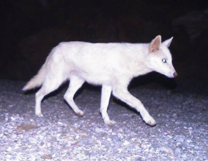 jackal albino animals dog
