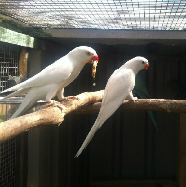 albino animals parakeet parrot ring necked