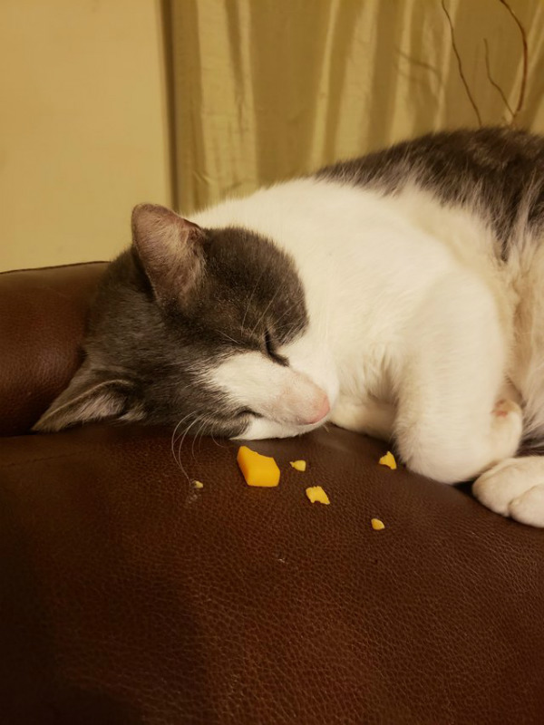 cat napping in cheese