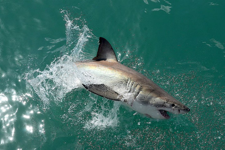 gansbaai south africa shark attack great white dangerous places to swim