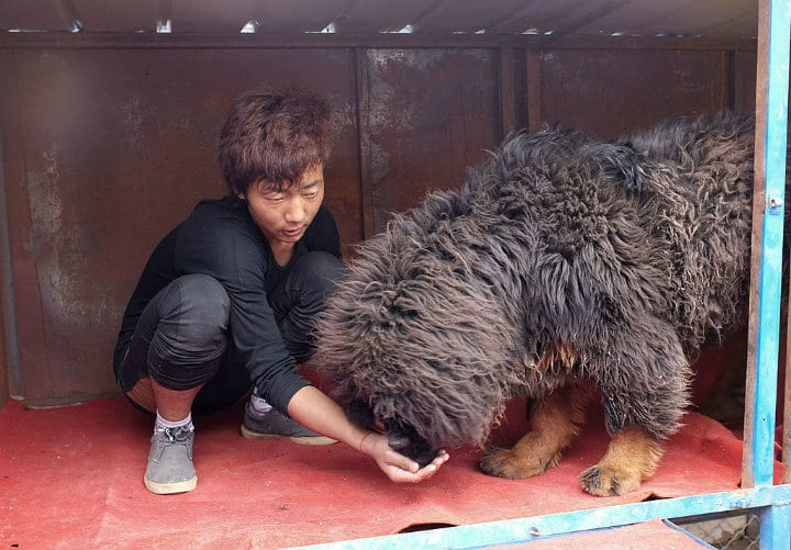 chinese family adopts pet dog bear