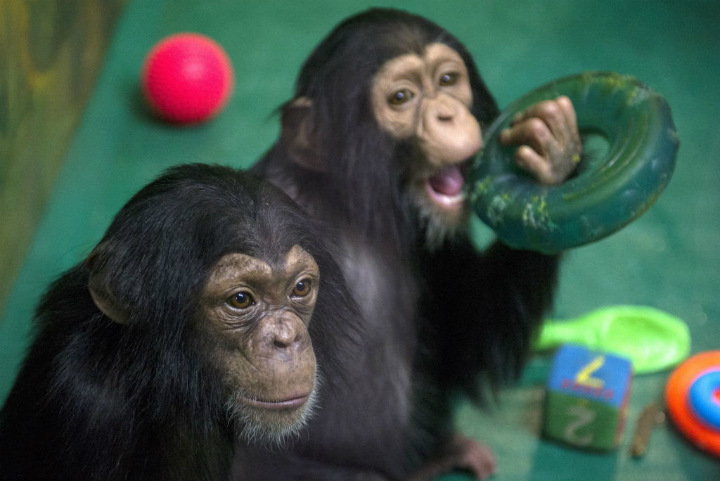 chimps - cute animals