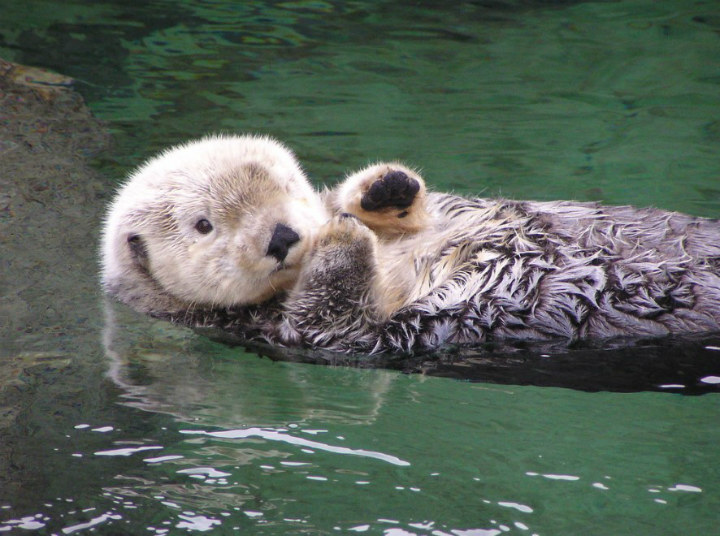 Sea otter - cute animals