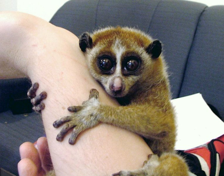 Slow loris - cute animals