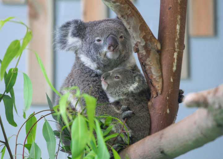 koalas - cute animals