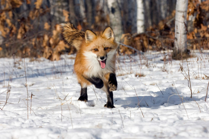 red fox - cute animals
