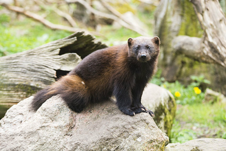 wolverine - cute animals