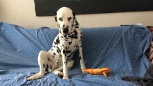 Dalmatian dog breeds not safe